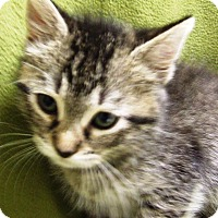 Domestic Shorthair Kitten for adoption in Watauga, Texas - Sam