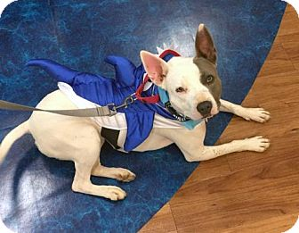 Rat Terrier Mix Dog for adoption in Charlotte, North Carolina - D.B