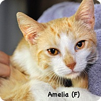 Adopt A Pet :: Amelia - West Orange, NJ