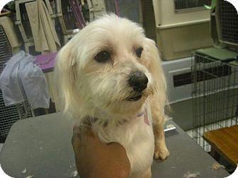 Maltese Dog for adoption in Moreno Valley, California - Angelina