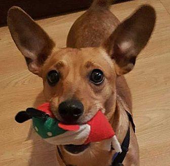 Dachshund/Chihuahua Mix Dog for adoption in LaGrange, Ohio - Scooby