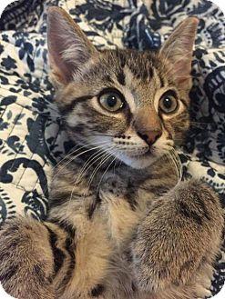Domestic Shorthair Kitten for adoption in ROSENBERG, Texas - Thor