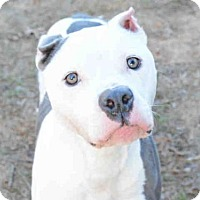 American Staffordshire Terrier Mix Dog for adoption in Tallahassee, Florida - SKY