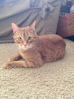 Domestic Shorthair Cat for adoption in Bloomington, Minnesota - Nacho