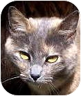 Domestic Shorthair Cat for adoption in Crescent City, California - CLOE