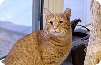 Domestic Shorthair Cat for adoption in Chicago, Illinois - Gordo