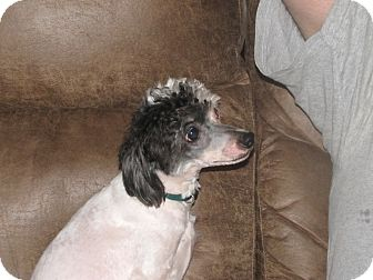 Chinese Crested Mix Dog for adoption in Indian Trail, North Carolina - Cruella (Ella)