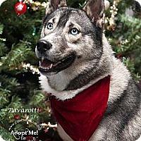 Adopt A Pet :: Pavarotti - Westfield, NY