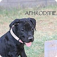 Adopt A Pet :: Aphrodite - Phoenix, AZ