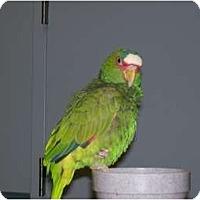 Adopt A Pet :: Dutchman - Shawnee Mission, KS