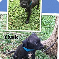 Adopt A Pet :: Oak - Scottsdale, AZ