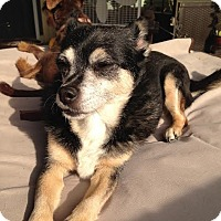 Chihuahua/Terrier (Unknown Type, Small) Mix Dog for adoption in Sheridan, Illinois - Callie-$50
