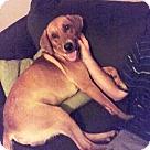 Adopt A Pet :: Gunner - Sherman, CT