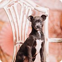 Adopt A Pet :: Badger - Portland, OR