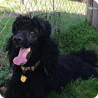Adopt A Pet :: Tango of Raleigh - Spartanburg, SC