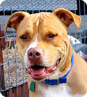 Pit Bull Terrier Mix Dog for adoption in West Grove, Pennsylvania - Bruno