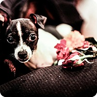 Rat Terrier Mix Dog for adoption in Seattle, Washington - Little Wan Kanobi