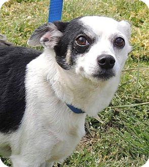 Chihuahua Mix Dog for adoption in Joplin, Missouri - Jenkins