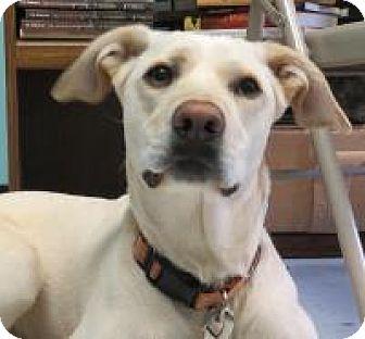 Labrador Retriever/Terrier (Unknown Type, Medium) Mix Dog for adoption in Manchester, Connecticut - Zoe