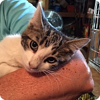 Domestic Shorthair Kitten for adoption in Lombard, Illinois - Scooby