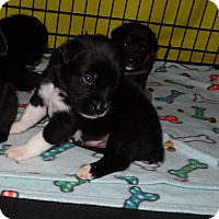 Adopt A Pet :: Halo - mooresville, IN
