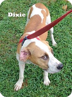 Hound (Unknown Type) Mix Dog for adoption in Mountain View, Arkansas - Dixie