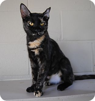 Domestic Shorthair Cat for adoption in Parsons, Kansas - Maggie May