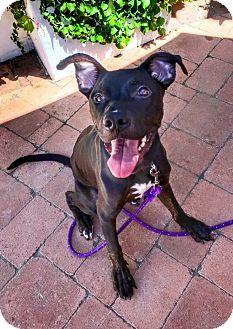 Labrador Retriever/German Shepherd Dog Mix Puppy for adoption in Newport Beach, California - Claudius