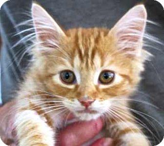 Maine Coon Kitten for adoption in Davis, California - Blinken