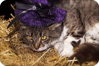 Domestic Mediumhair Cat for adoption in Livonia, Michigan - Rose