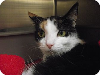 Domestic Shorthair Cat for adoption in Chambersburg, Pennsylvania - Alicia