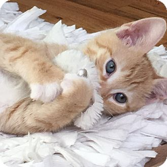 Domestic Shorthair Kitten for adoption in Island Park, New York - Joey