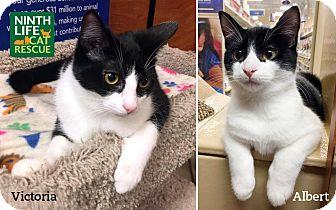 Domestic Shorthair Kitten for adoption in Oakville, Ontario - Albert & Victoria