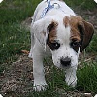 Adopt A Pet :: Beckett - Broomfield, CO