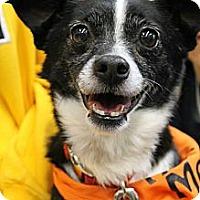 Adopt A Pet :: Lil Buddy - Morgantown, WV