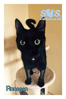 Domestic Shorthair Cat for adoption in Tucson, Arizona - Finnegan