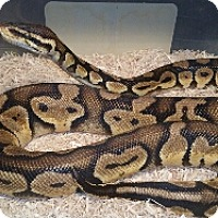 Adopt A Pet :: Ball Python, Pastel - Lake Forest, CA