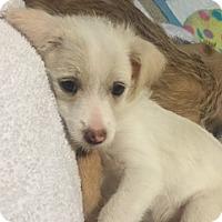 Adopt A Pet :: Zoey - Las Vegas, NV