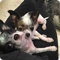 Adopt A Pet :: Stitch + Spencer - Windermere, FL