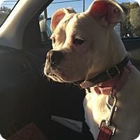 Boxer Puppy for adoption in Austin, Texas - Saucy