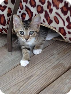 Domestic Shorthair Kitten for adoption in Crestview, Florida - Davey