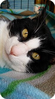 Domestic Shorthair Cat for adoption in Edmond, Oklahoma - Panda
