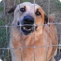Australian Cattle Dog Dog for adoption in Von Ormy, Texas - Redd(JM)