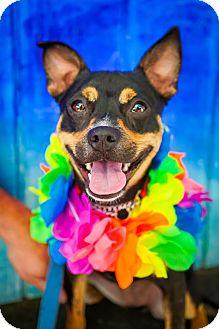Feist Mix Dog for adoption in Washington, D.C. - Carma