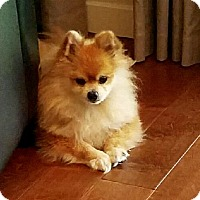 Pomeranian Dog for adoption in Minnetonka, Minnesota - Prince