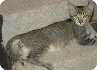 Domestic Shorthair Kitten for adoption in Los Angeles, California - Sol
