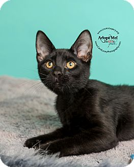 Domestic Shorthair Cat for adoption in Cincinnati, Ohio - Bosco