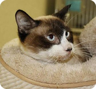 Siamese Cat for adoption in Grass Valley, California - Snooker