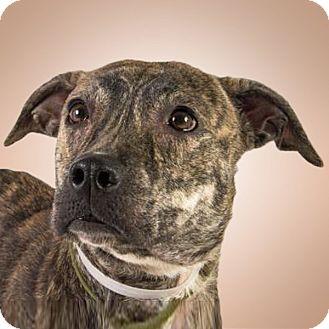 Pit Bull Terrier Mix Dog for adoption in Prescott, Arizona - Cici