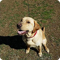 Labrador Retriever Dog for adoption in Lancaster, Pennsylvania - Rockwell